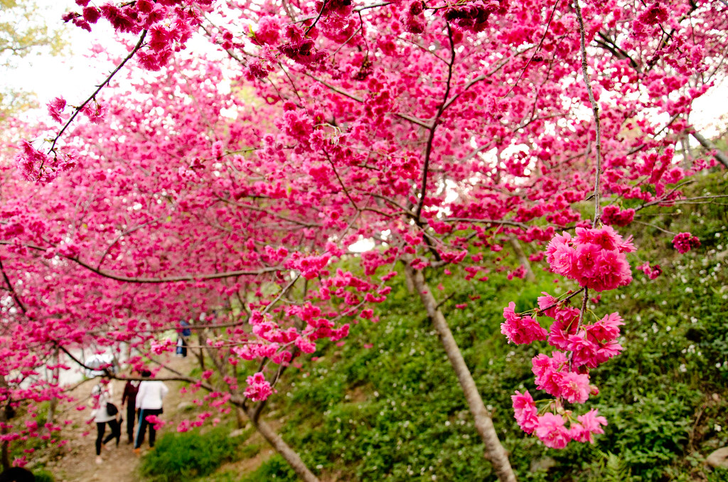 Masaharu's Blog / Gallery: 新社櫻花祭 - 129縣道五公里