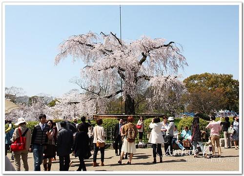 圓山公園櫻花
