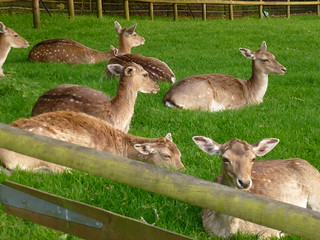 Deer, Golders Hill