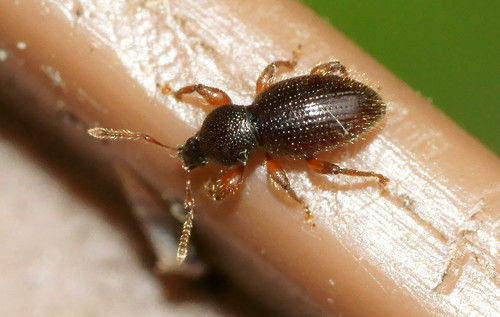 Hairy Spider Weevil (Barypeithes pellucidus)?