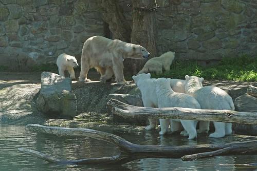 Eisbären Huggies und Freedom zusammen mit ihrem Nachwuchs im Ouwehands Dierenpark in Rhenen