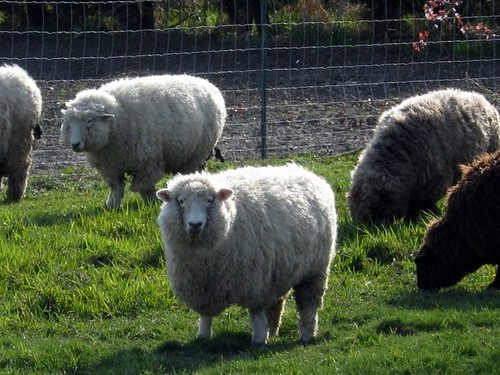 Sean the Sheep! by AbiznessDigital