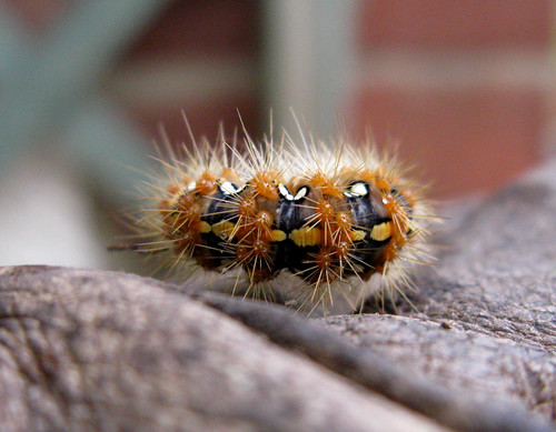 Jersey Tiger Moth caterpillar