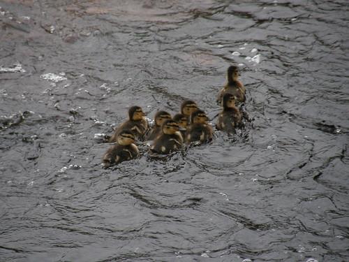 Mallard chicks II