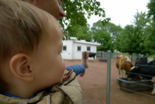 Cows go Moo...
