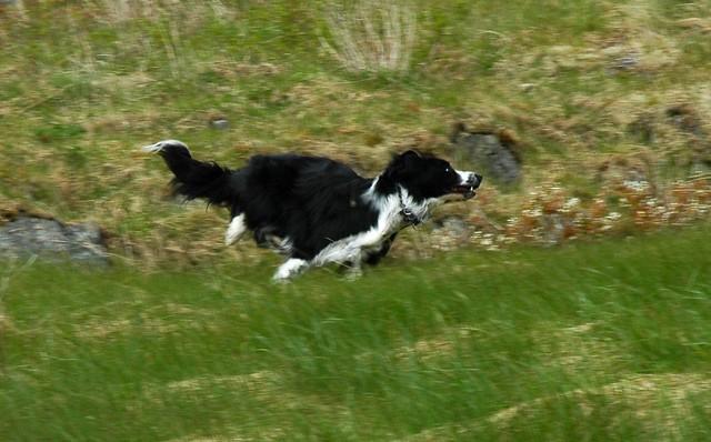 Rowan galloping