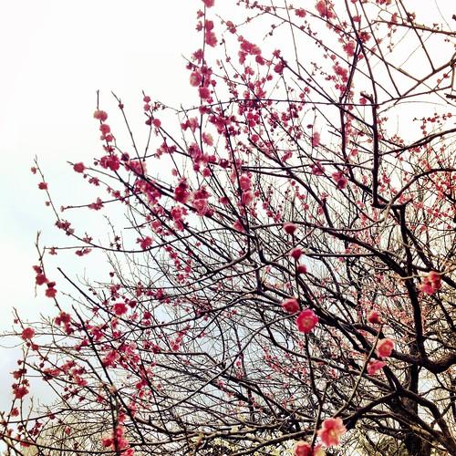 Pink Plum Tree