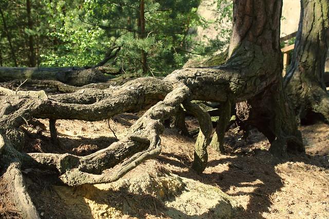 Vieux tronc noueux