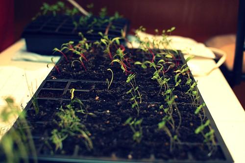Seedlings; Two Weeks
