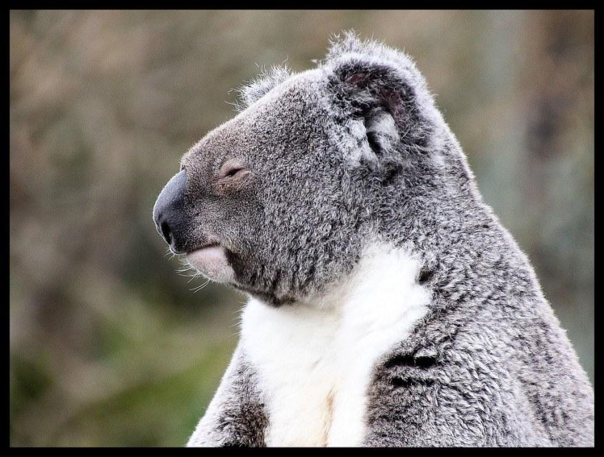 koala (7)