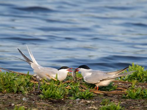 Common Terns-sharing
