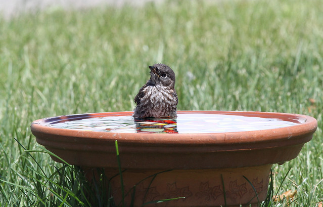 Baby bluebird in the bath