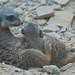 Mother and baby Meerkat