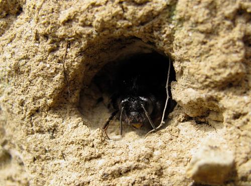 Anthophora plumipes, Castle Rocks