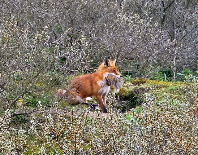 Fox with young rabbit