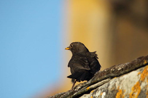 Canon 60D - Blackbird Close-up by TempusVolat
