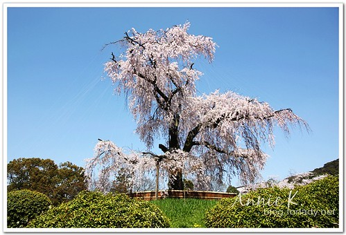 圓山公園櫻花2
