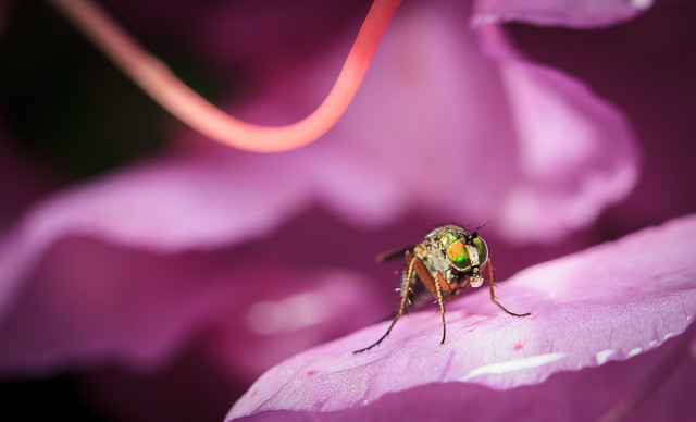 Another Rhododendron and Fly