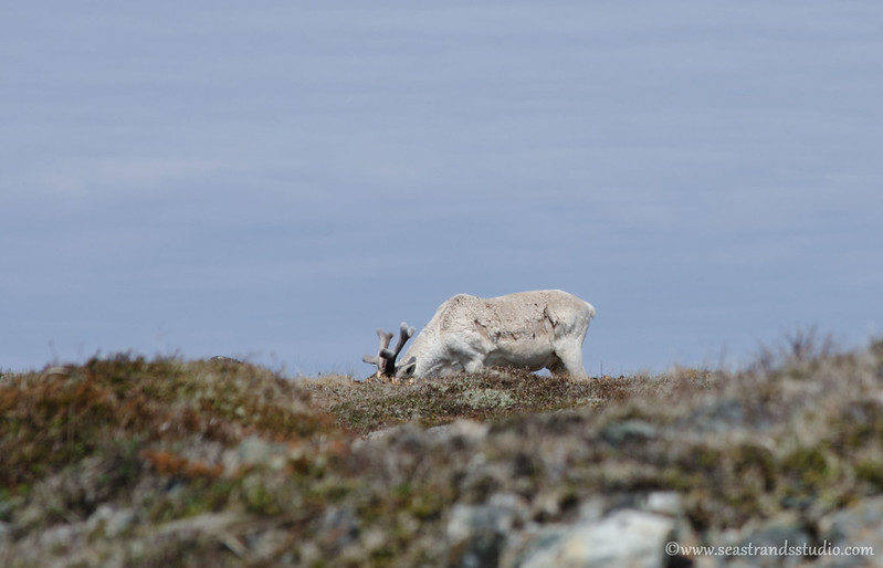Sneaking up on a caribou