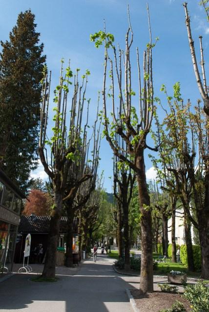 很特別的行道樹