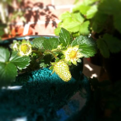 galore pink strawberry