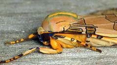 Banded Tussock Moth, Halysidota tessellaris? Arctiidae