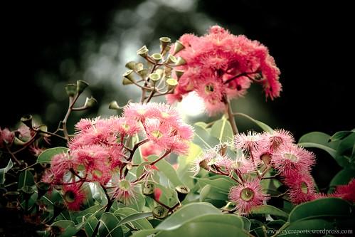 eucalyptus blooms by gomagoti