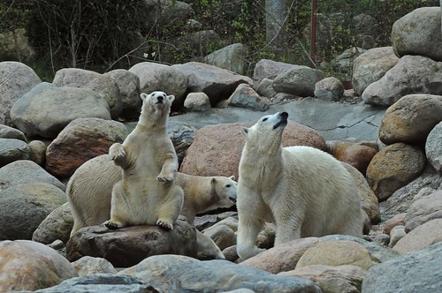 Eisbären Milak, Malik und Augo im Zoo Aalborg