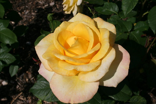 Sunshiny Yellow Rose