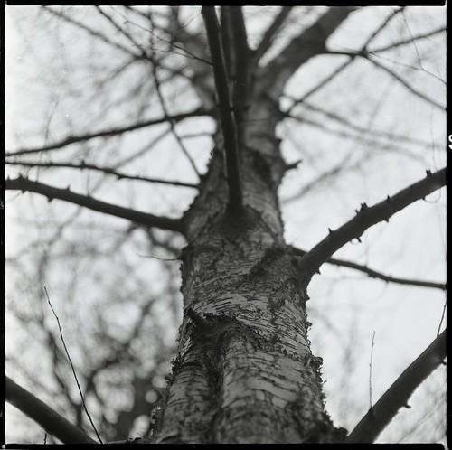 Tree, Mamiya C330 - Fomapan 400 by Sibokk