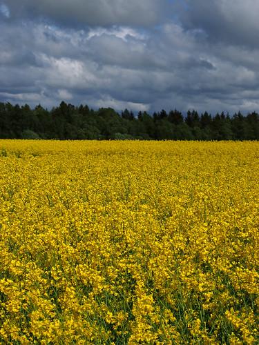 rape field in Kiili Vald, Estonia