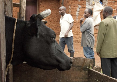 Cross-bred dairy cow with farmers and milk producers union representative