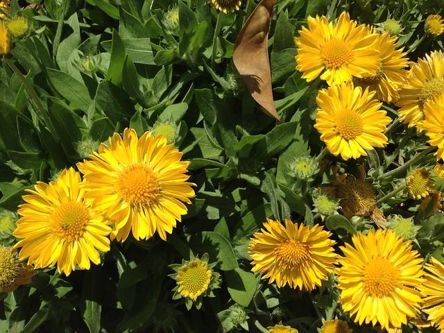 Mesa yellow blanket flower (Gaillardia x grandiflora, Asteraceae)