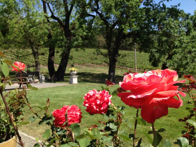 Red-orange roses (Rosa sp., Rosaceae), Gundlach Bundschu Winery
