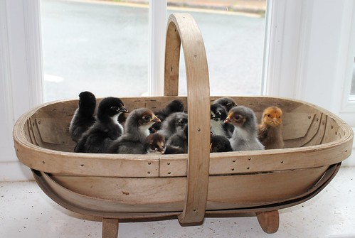chicks in a trug