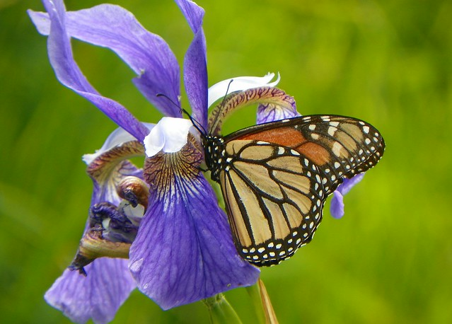 Monarch and Blue Iris