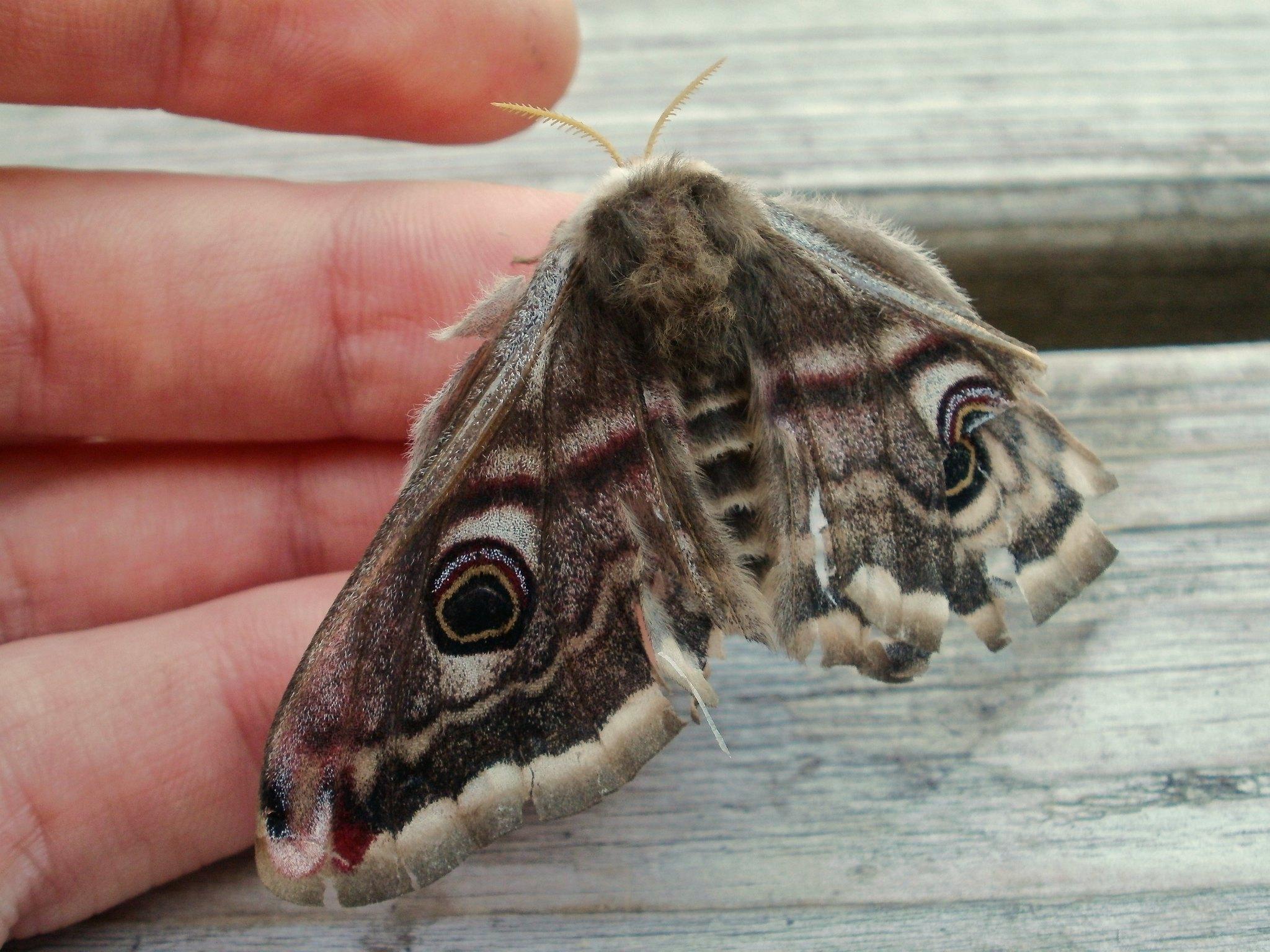 Emperor Moth female
