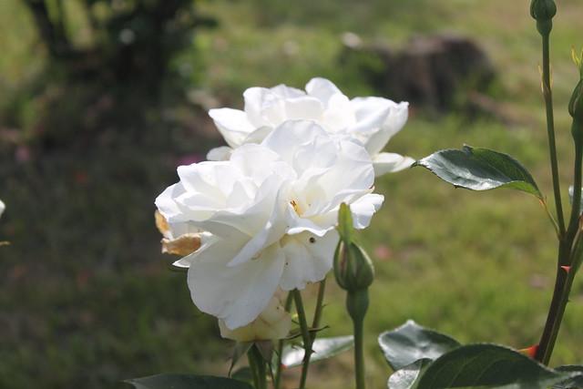 Rosa blanca #Photography #Foto20