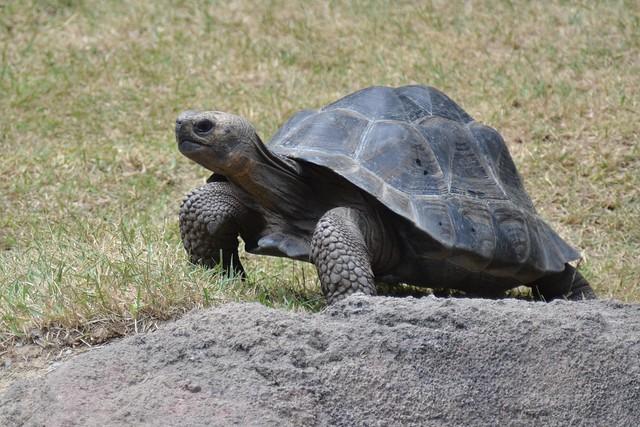 Galápagos Tortoise 1