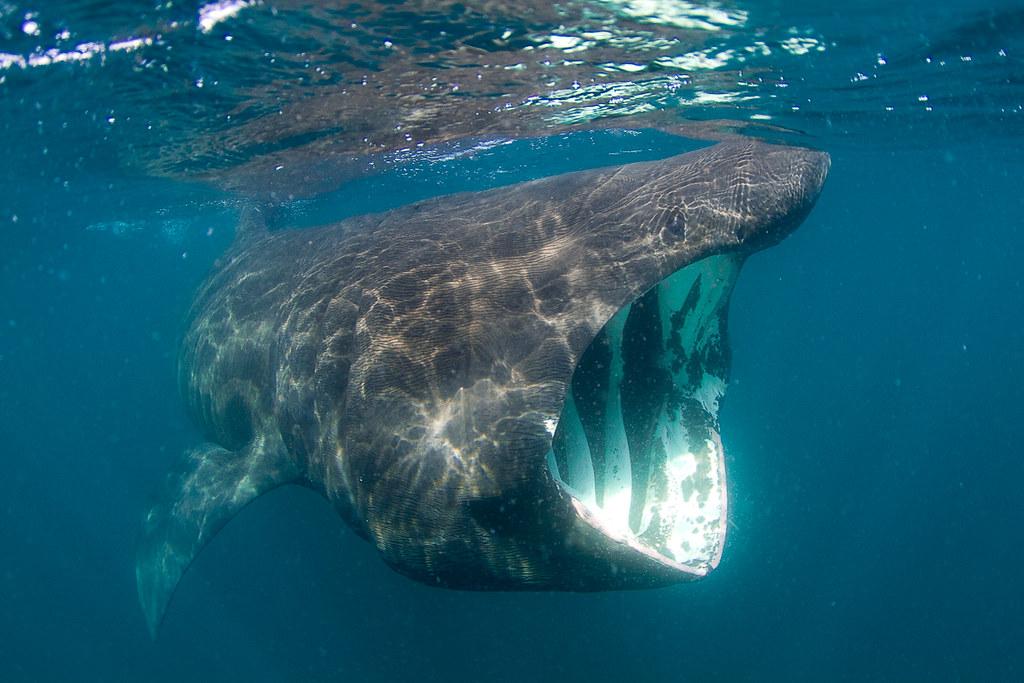 2012 06 19 20 27 「姥鯊」不可思議的嘴巴