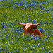 She's Just a Youngster Enjoying the Bluebonnets!