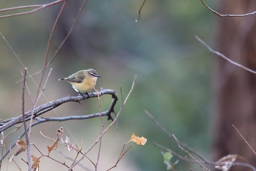 Yellow-rumped Thornbill 2012-05-12 (_MG_7779)