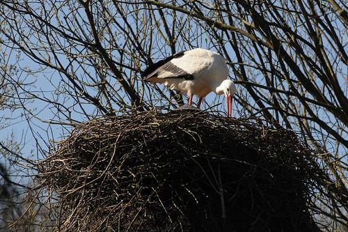 Weißstorch im Zoo in der Wingst