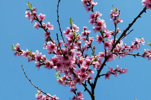 Arbres en fleurs HD-020