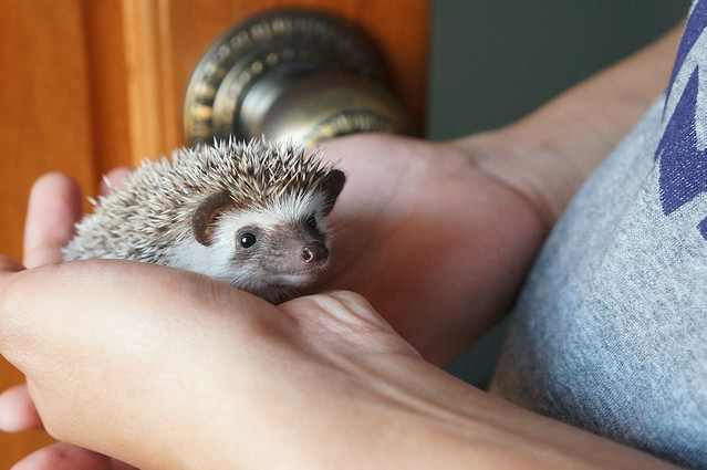 Botan the Hedgehog awake