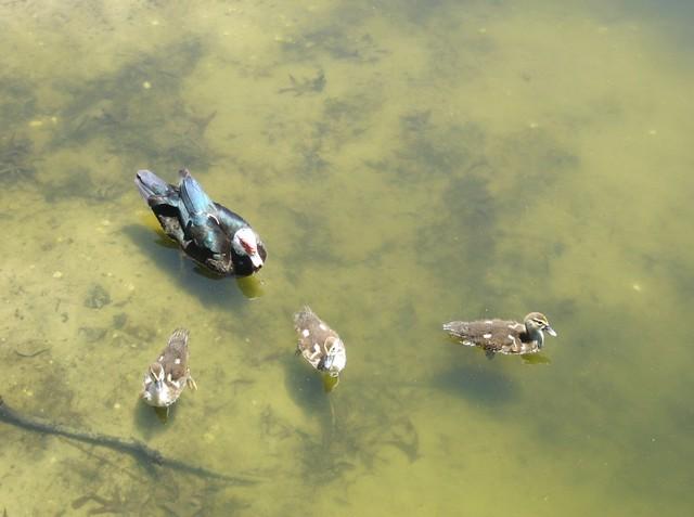 Mama Duck & Her Babies
