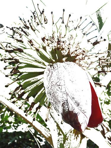 201202210330-banana-flower3-w
