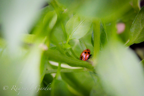 Ladybug on hot pepper plant