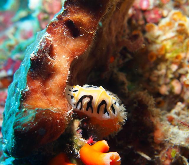 Wakatobi: Nudibranchs (6/6)