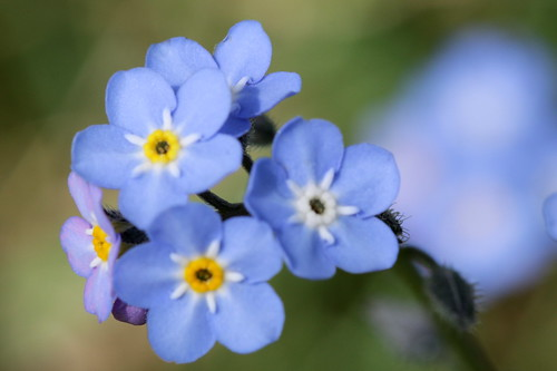 Blue flowers yellow inner cu